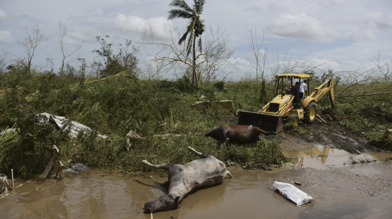 Two dead horses lie on the side of the road on the second day after the impact of Maria, a Category 5 hurricane that crossed the island, in Toa Baja, Puerto Rico, Friday, September 22, 2017. Because of the heavy rains brought by Maria, thousands of people were evacuated from the community after the municipal government opened the gates at rio La Plata Dam. (AP Photo/Carlos Giusti)